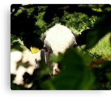Peek-a-Cow Canvas Print