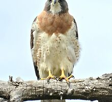 Wild Red Tail Hawk  by Amy McDaniel