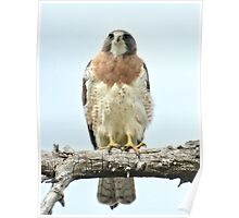 Wild Red Tail Hawk  Poster