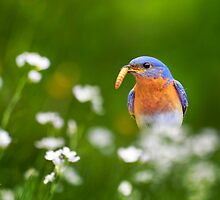 Eastern Bluebird with Worm by Christina Rollo