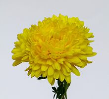 Yellow Chrysanthemum by DPalmer