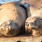 Sea Lion Buddies by Jim Stiles