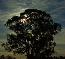 Silhouetted gumtree by ndarby1
