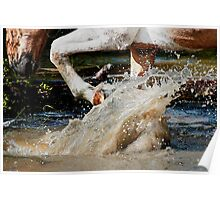 Palomino Paint Horse makes a splash Poster