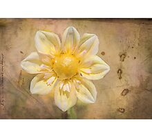 Yellow Dahlia on vintage parchment. Photographic Print