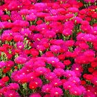 "Hot Pink ""Ice Plant"" (Carpobrotus) by Marilyn Harris"