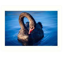 Native Black Swan Art Print