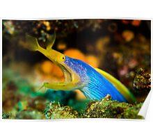 Blue Ribbon Eel - Somo Somo Strait - Fiji Poster