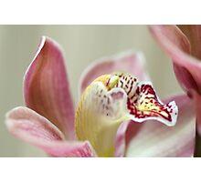Cymbidium Orchid Photographic Print
