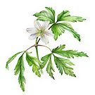 White wood anemone by Sarah Trett