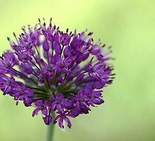 Star Clusters - Allium by Debbie Oppermann