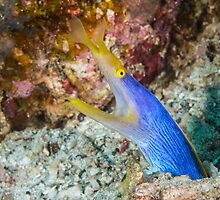 Blue Ribbon Eel by Mark Rosenstein