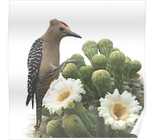 Gilla Woodpecker Feasting on Blooming Saguaro Poster