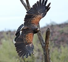 Harris Hawk Hunting by Bryan Shane