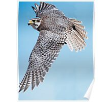 Praire Falcon Swooping Poster