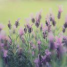 Lavender by Keith G. Hawley