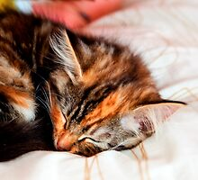 Sleeping Kitten by Dave  Knowles