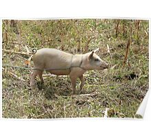 Female Pig Tied in a Field Poster