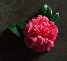 A Charming Camellia............!! by Roy  Massicks