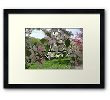 Pink and White Blossoms  Framed Print