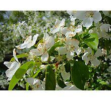 White Blossoms #2 Photographic Print