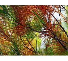 pine brush Photographic Print