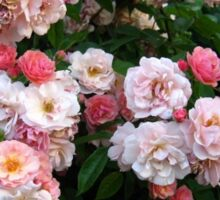 pink roses Sticker