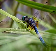 Dragonfly in the Grass by Mikell Herrick