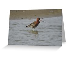 Black Tailed Godwit Greeting Card