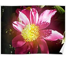 Exploding Peonie Poster