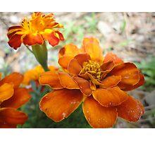 Orange Marigolds Photographic Print