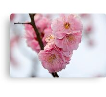 Close up of Cherry Blossoms in a Japanese Garden, Tokyo, Japan Canvas Print