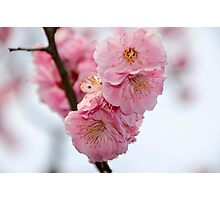 Close up of Cherry Blossoms in a Japanese Garden, Tokyo, Japan Photographic Print
