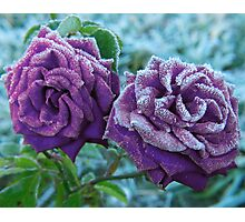 Purple Rose Photographic Print
