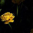 yellow tulip by Spondylus