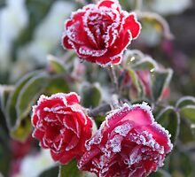 Frosted Roses by Jenelle  Irvine