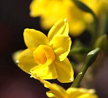 Jonquils Brighten A Cool Day by Joy Watson