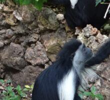 Colobus Monkey eating leaves for breakfast Sticker