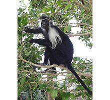 Colobus Monkey eating leaves in a tree Photographic Print