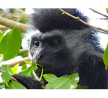 Colobus Monkey eating leaves in a tree close up Photographic Print