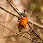 Kingfisher by Grandalf