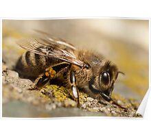 honey bee Poster