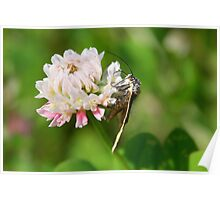 Burnet Companion Moth on White Clover Poster