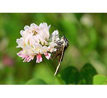 Burnet Companion Moth on White Clover Photographic Print
