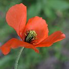 Poppy by Lisa Kent