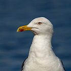 Common Gull by M.S. Photography/Art