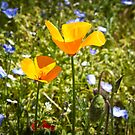 California Poppy side view  by KSKphotography