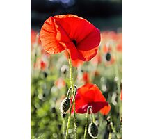 Another Poppy Photographic Print