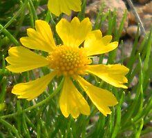 Yellow Wildflower - Huisache Daisy? by Navigator