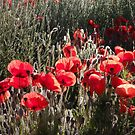 South Downs Poppies by mikebov